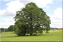 TQ5244 : Oak, Penshurst Park by N Chadwick