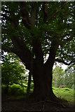 TQ5345 : Ancient Oak by N Chadwick