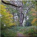 TQ4693 : Dead tree in Chigwell Row Wood by Roger Jones