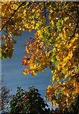 SX9065 : Autumnal leaves, Cricketfield Road by Derek Harper