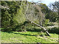SN1507 : Arched ash tree, Colby Woodland garden, Amroth by Humphrey Bolton