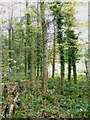 SX2577 : Coniferous woodland on the edge of Lemarnedown Plantation by Rod Allday