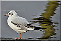 J3473 : Black-headed gull, River Lagan, Belfast (November 2016) by Albert Bridge
