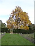 SX4268 : Tree in the Upper Garden, Cotehele House by David Smith