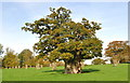 ST8181 : Ancient Oak, Acton Turville, Gloucestershire 2015 by Ray Bird