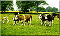ST8181 : Cattle, Acton Turville, Gloucestershire 1990 by Ray Bird