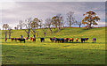 NH7947 : Cattle in a field Dalgrambich Farm by valenta