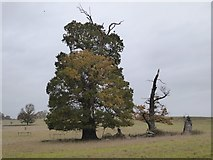 SO8843 : Mature trees in Croome Park by Philip Halling