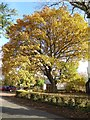 SO8742 : An oak tree in autumn colours by Philip Halling