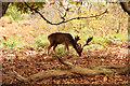 TQ5452 : Fallow Deer buck by Richard Croft