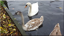 TQ3296 : Swans, New River Loop, Chase Side, Enfield by Christine Matthews