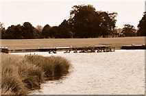 ST8083 : Red Deer in Lake, Badminton Park, Gloucestershire 2015 by Ray Bird
