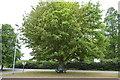 TL4863 : Chestnut Tree by N Chadwick