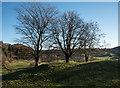 NY3403 : Three trees on undulating ground by Trevor Littlewood