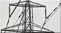 J3674 : Starlings and pylon, Belfast (November 2016) by Albert Bridge