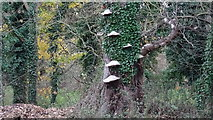 TQ0481 : Bracket Fungus and Ivy Vine on old dead tree by Rob Emms