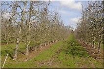 SO3961 : Orchard, Shobdon by Richard Webb