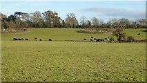 SO8845 : Cattle in a field at Croome by Philip Halling