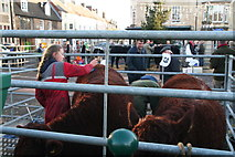 SP8699 : Preparing the cattle at Uppingham's annual Fatstock Show 2016 by Chris