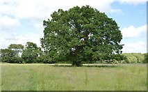 TQ5145 : Oak tree by N Chadwick