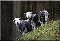 NY3115 : Herdwick sheep at Rough Crag by Walter Baxter
