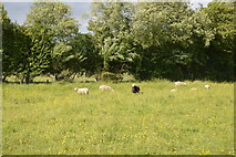 TQ5145 : Sheep in a meadow by N Chadwick
