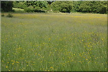 TQ5145 : Buttercup meadow by N Chadwick
