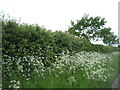 TL6559 : Roadside hedgerow near Court Barns Farm by JThomas