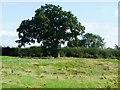 SJ5137 : Large tree, south of Brickwalls Farm by Christine Johnstone