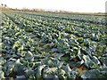 SO9143 : A field of cabbages by Philip Halling