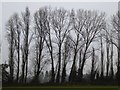 SO8546 : Bare winter trees by Philip Halling