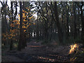 SJ9063 : A shaft of sunlight in the pinewood by Stephen Craven
