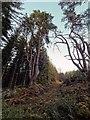 NH6149 : Scots Pine by valenta