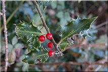 TQ2996 : Holly near Footpath to Oakwood by Christine Matthews