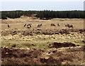 NC8842 : Red Deer near Forsinard by Jon Alexander