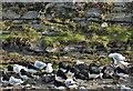 J3878 : Gulls and oystercatchers, Belfast Lough (January 2017) by Albert Bridge