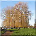 TM4291 : Willows at Beccles Quay in winter by Roger Jones