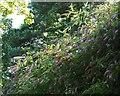 SX9256 : Buddleia on coast path by Derek Harper