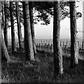 NZ0846 : Pine trees at Whickham Grange by Alan Murray-Rust