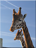 SE6301 : A pair of giraffes at the Yorkshire Wildlife Park by Graham Hogg
