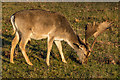 TQ5354 : Fallow Deer by Ian Capper