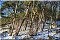 NT2339 : Windswept pines near Manor Sware by Jim Barton