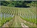 TQ0548 : Albury Vineyard by Colin Smith