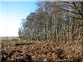 TG4500 : Birches on the western edge of Fritton Wood by Evelyn Simak
