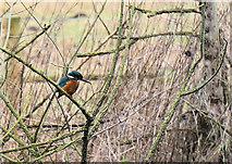 TL8663 : Kingfisher above the River Lark by Bob Jones
