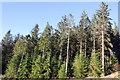 SH7227 : Pine trees in Coed-y-Brenin by Jeff Buck