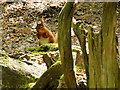 SZ0287 : Red Squirrel at Brownsea Island by David Dixon