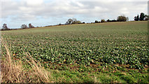 TG3204 : Crop field south of Rockland St Mary by Evelyn Simak
