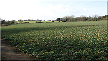 TG3204 : Crop fields south of The Street, Rockland St Mary by Evelyn Simak