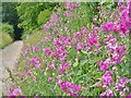 TQ1550 : Dorking - Sweet Peas by Colin Smith